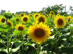 Sunflowers for Fukushima