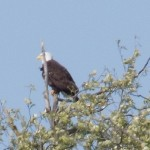 Bald Eagle, Skagit