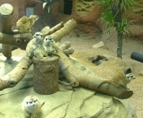 meerkats (how many can you spot in this picture?)