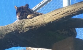 clouded leopard, lounging