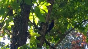 woodpeckerbellevue102015
