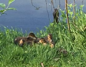 bundleducklings52016
