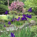 iris and rhododendron
