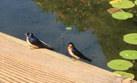 Sassy barn swallows!