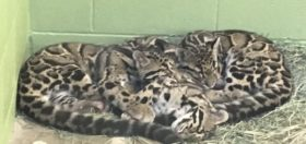 Clouded leopard cubs, sleeping in a pile