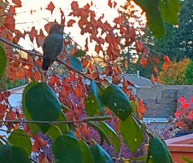 Scolding Hummingbird, October