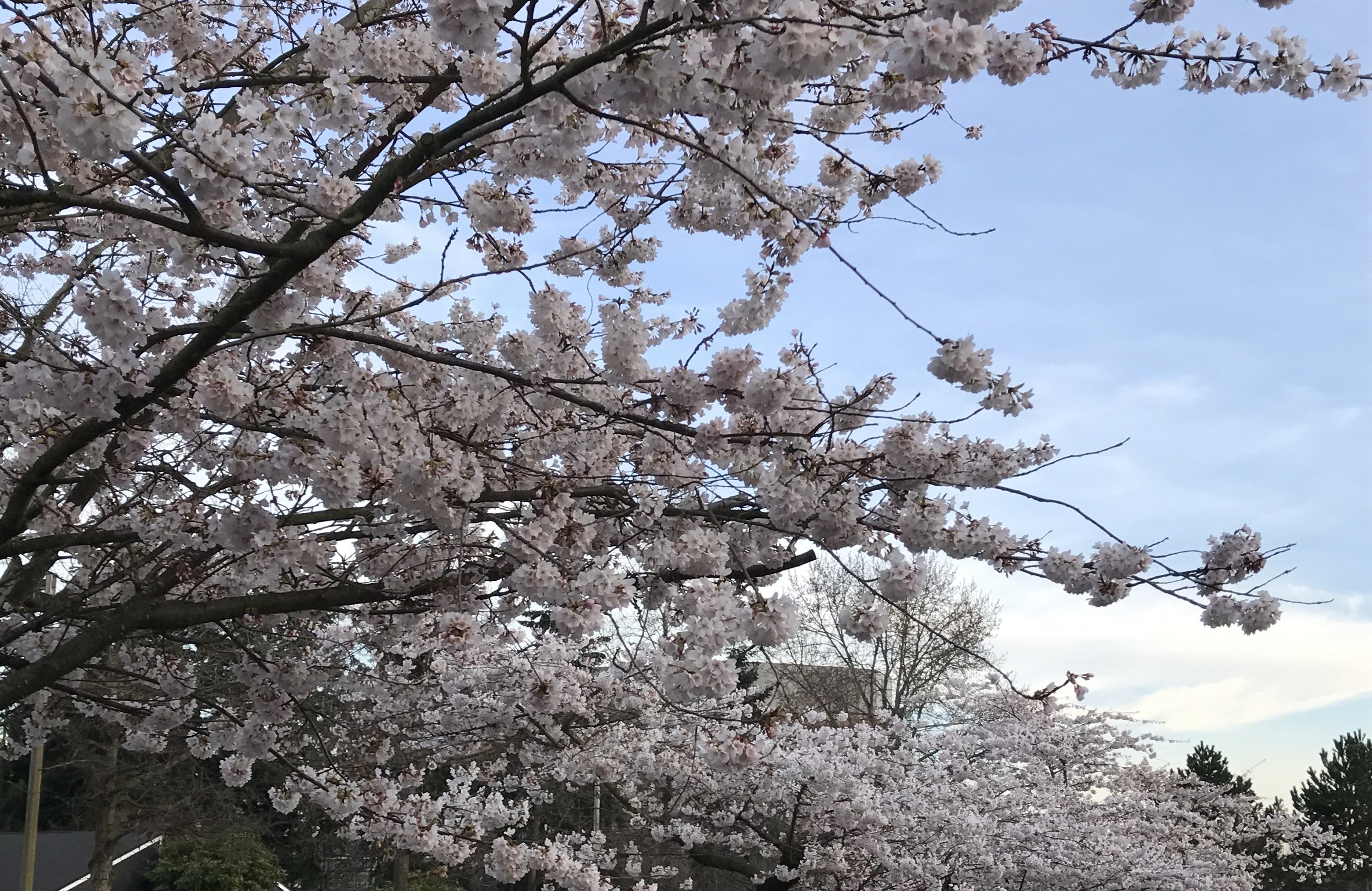 National Poetry Month Cherry And Magnolia Blossoms And An April